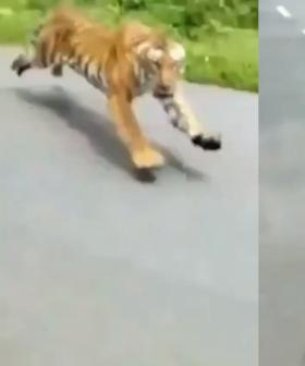 Motorcyclists Narrowly Escape Being Mauled By Tiger