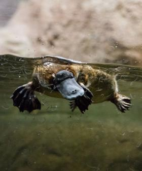 Experts Warn That The Platypus Is At Brink Of Extinction