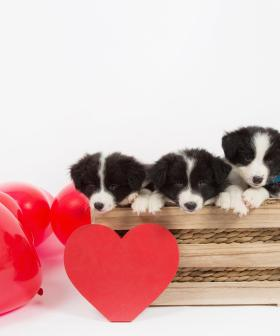 There's a QLD Café Dedicated to Puppy Cuddles with Border Collies and We're Not Even Joking