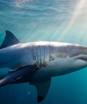 Shark Expert Professor Culum Brown Breaks Down Shark Behaviour From A Hospital Bed After His Own Close Call