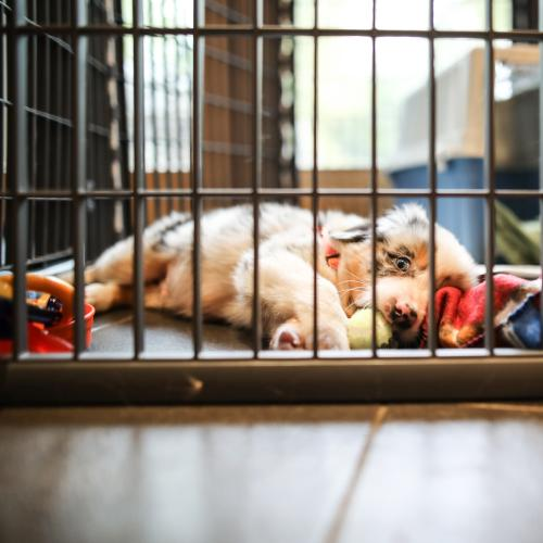 To Crate, Or Not To Crate: The Great Puppy Debate!