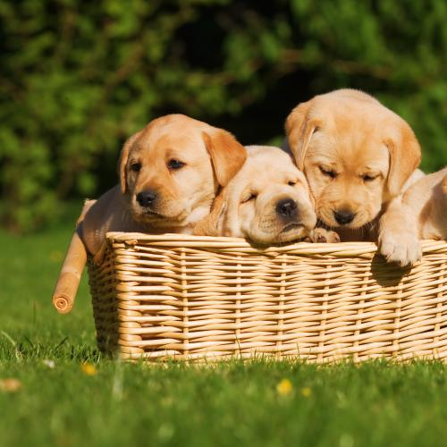 Dream Job Alert! - Puppy Parents Needed To Foster Adorable Guide Dogs!