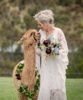 You Can Hire An Alpaca To Walk You Down The Aisle!