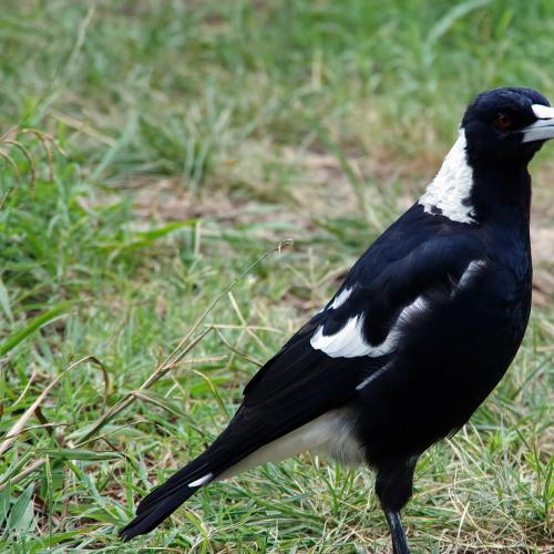 This Woman Had Her $10,000 Engagement Ring Stolen By A Swooping Magpie!